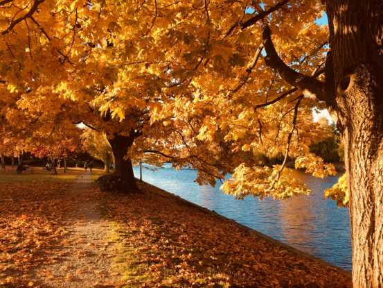 Golden-leafed autumn trees beside river.